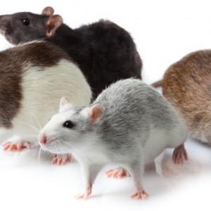 La maggior parte delle infestazioni da topi saranno contraddistinte da segnali tipici come rumori di graffi nelle pareti e nelle soffitte, dalla presenza di escrementi di topo o odori strani.