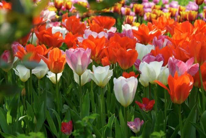 Fiori in bulbo: donano bellezza al tuo giardino e si possono piantare anche in autonno e in inverno.