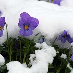 Le viole fioriscono per tutto l'inverno anche a temperature bassissime.