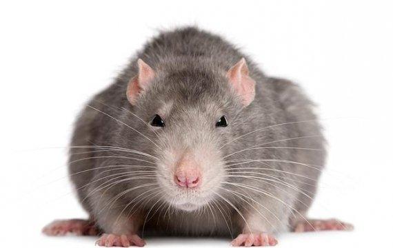 disinfestazione-topi
